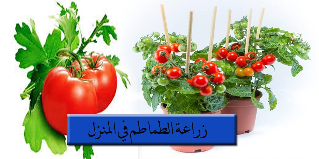 زراعة الطماطم في المنزل و المساحات الصغيرة