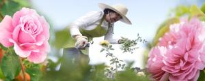 زراعة الورد الجوري