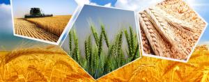 زراعة القمح بالتفصيل من الألف للياء