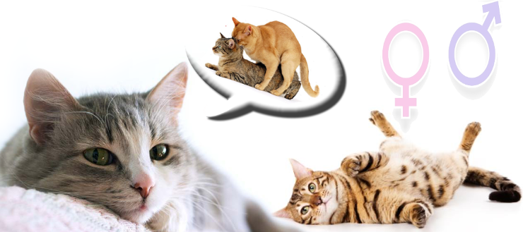 تزاوج القطط بالتفصيل