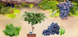 زراعة العنب 'Grape'